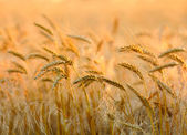 Sunset wheat field — Stock Photo
