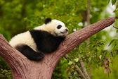 Slapende reus panda baby — Stockfoto