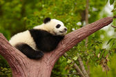 Sleeping giant panda baby — Photo