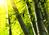 Bamboo forest background. Shallow DOF — Stock Photo