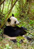 Pandu jíst bambus — Stock fotografie
