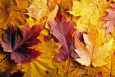 Arka plan sonbahar yaprakları — Stok fotoğraf