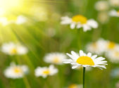 Camomile field — Stockfoto