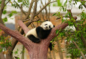 Bambino panda gigante che dorme — Foto Stock