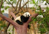 Sleeping giant panda baby — Stock Photo