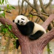 Sleeping giant panda baby - 图库照片