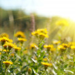 Yellow field flowers — Stock Photo