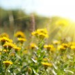 Yellow field flowers — Stockfoto