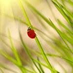 Ladybug on green grass. Shallow DOF — Stock Photo #16333633