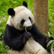 Giant panda eating bamboo — Stock Photo #16333971