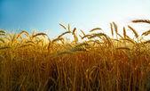 Sunset wheat field — Stock Photo