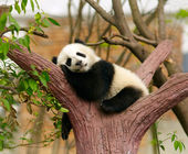 Sleeping giant panda baby — Stock fotografie