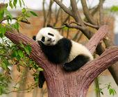 睡着的大熊猫宝宝 — 图库照片