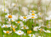 White and yellow daisies. Shallow DOF — Stock Photo