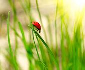 Ladybug on green grass. Shallow DOF — Stock Photo
