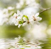 Spring white blossoms — Stock Photo