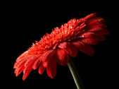Red daisy-gerbera on black background — Photo