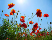 Poppies on blue sky background — Stockfoto