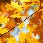 foglie di acero autunno sfondo — Foto Stock