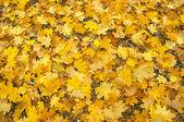 Autumn klonowe listowie tło — Zdjęcie stockowe