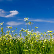Stock Photo: Green grass, flowers and sky