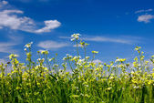 Green grass, flowers and sky — Stock Photo