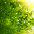 Green leaves reflecting in the water — Stock Photo #19570703