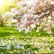 Magnolia tree — Stock Photo #19570797