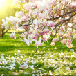 Stock Photo: Magnolia tree