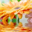 Closeup photo of yellow daisy-gerbera — Stock fotografie