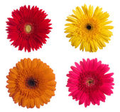 Four daisy-gerbera flowers isolated on white background — Stock Photo