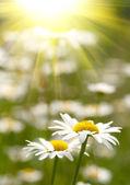 Białe i żółte stokrotki — Zdjęcie stockowe