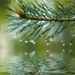 Water drops on fir tree reflected in the water — Stock Photo #42037283