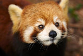 The Red Panda, Firefox — Stock Photo