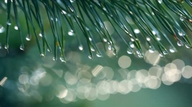 Water drops on fir tree — Stockvideo