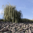 Weeping willow — Stock Photo