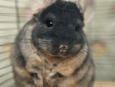 Chinchilla sitting in a cage — Stock Photo