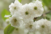 Blossoming tree with beautiful white flowers — Stock Photo