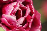 пион цветок — Стоковое фото