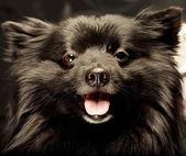 Chien noir avec grand sourire — Photo