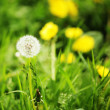 Dandelion — Stock Photo #27372839