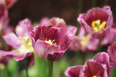 Beautiful pink blooming tulips — Foto de Stock