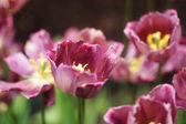 Vacker rosa blommande tulpaner — Stockfoto