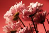 Pink chrysanthemum flowers — Stock Photo