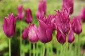 Tulipanes rosa en el jardín — Foto de Stock