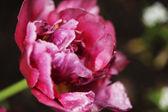 Flor peonía — Foto de Stock