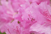 Beautiful pink flowers in the garden — Stock Photo