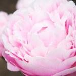 Pink peony — Stock Photo #28368325