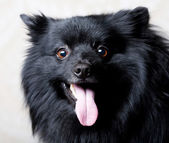 Black dog with big smile — Stock Photo