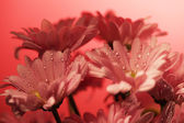 Closed up chrysanthemum — Stock Photo